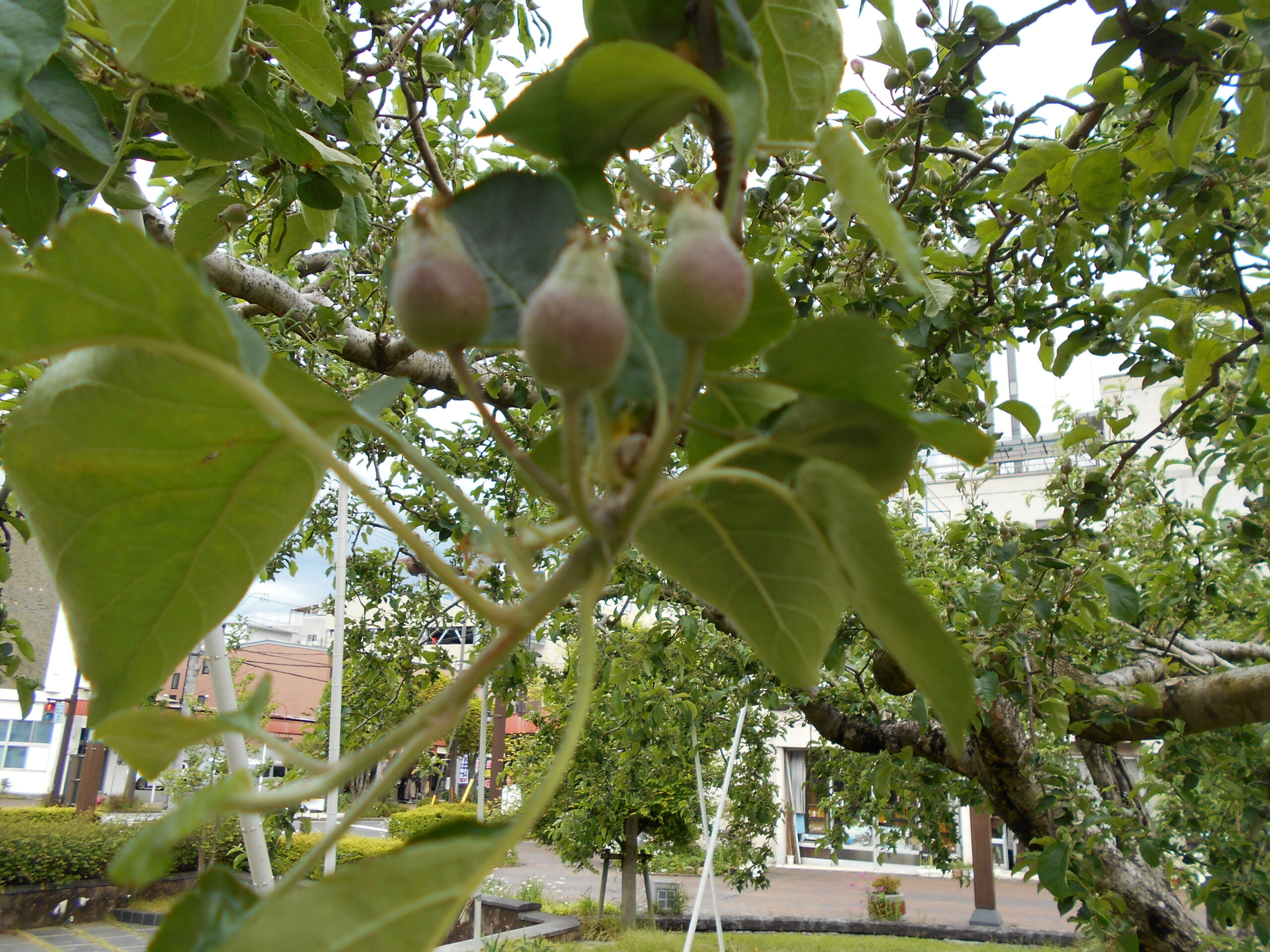 りんごの実